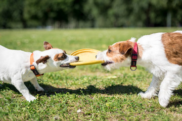 Two Jack Russells playing 2