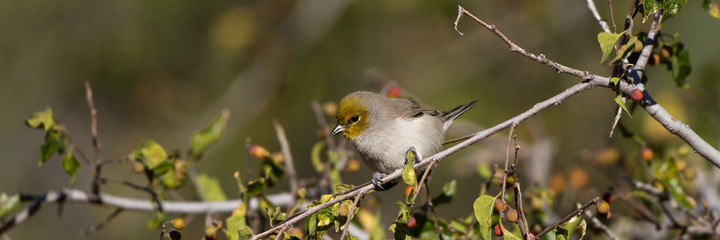 Panorama of a tiny Verdin in a southern Arizona tree in autumn