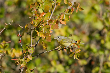 Nashville Warbler in the Colorado Rockies during autumn migration