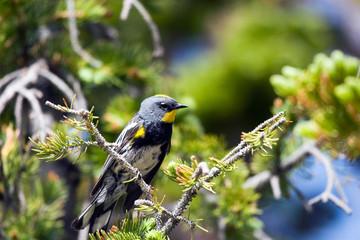Yellow-rumped Warbler in a pine tree in Cedar Breaks National Monument in Utah