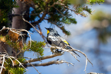 Yellow-rumped Warbler in Cedar Breaks National Monument in autumn