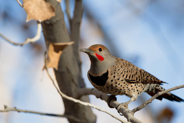 Male Northern Flicker in autumn in Bosque del Apache National Wildlife Refuge