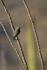 Gila Woodpecker on Ocotillo cactus in Arizona's Sonoran Desert