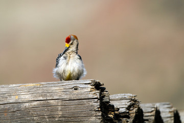Male Golden-fronted Woodpecker in Palo Duro Canyon State Park in Texas