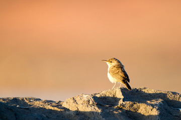 Bewick's Wren at dawn in Sand Hollow State Park in southern Utah