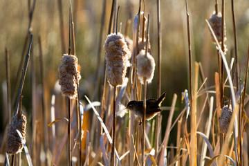 Female Marsh Wren brings nesting material to her nest in the cattails