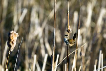 Male Marsh Wren sings in the marsh at Bosque del Apache National Wildlife Refuge