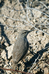 Rock Wren in Saguaro National Park near Tucson, Arizona