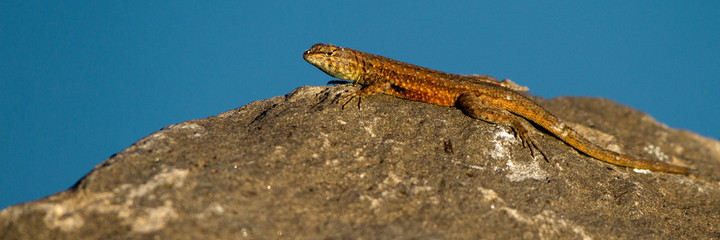 Side-blotched Lizard at Sand Hollow State Park in southern Utah