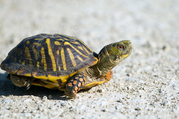 Ornate Box Turtle cross a gravel road in Quivira National Wildlife Refuge in Kansas