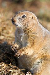 Standing Black-tailed Prairie Dog with muddy paws in Texas