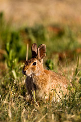 Desert Cottontail in Palo Duro Canyon State Park in the Texas Panhandle