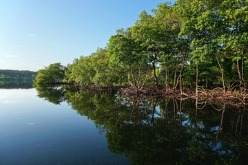 Mangrove trees along the shore reflected in water