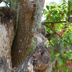 Eastern Gray Squirrel in a tree with Spanish moss in Homosassa, Florida