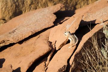 White-tailed Antelope Squirrel stands on Anasazi ruins in Wupatki National Monument near Flagstaff, Arizona
