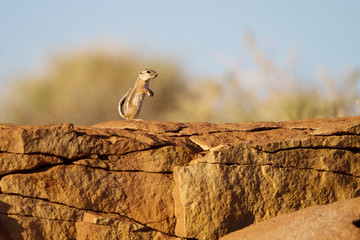White-tailed Antelope Squirrel stands on Anasazi ruins in Wupatki National Monument near Flagstaff, Arizona