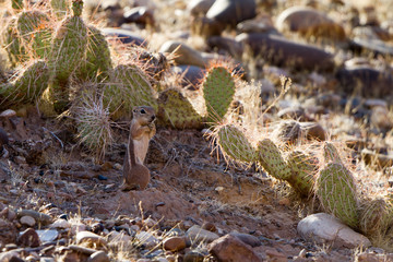 White-tailed Antelope Squirrel stands in shade of a Prickly Pear cactus in northern Arizona
