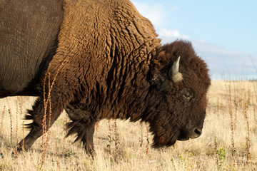 American Bison or Buffalo in Antelope Island State Park in Utah