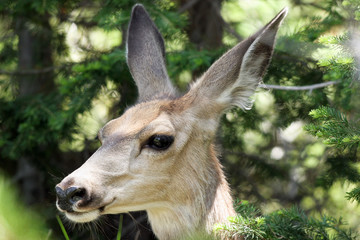 Mule Deer close-up portrait in Yellowstone National Park