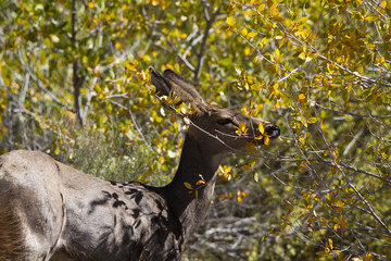 Mule Deer munches yellow foliage in Great Sand Dunes National Park
