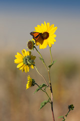 Monarch wakes up at dawn on a Sunflower in Antelope Island State Park in Utah