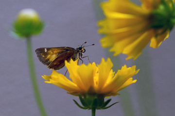 Taxiles Skipper butterfly on yellow flower of native Coreopsis, aka Tickseed