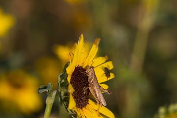 Grasshopper on a sunflower in Quivira National Wildlife Refuge in Kansas