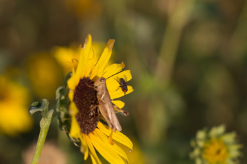 Red-eyed Fly by a grasshopper on a sunflower in Quivira National Wildlife Refuge