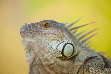 Iguana face closeup