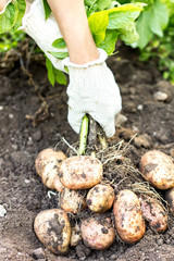 Harvesting the young potatoes in the garden
