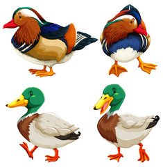 Different kind of ducks