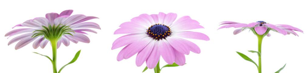 Obraz Daisy, Osteospermum ecklonis - fototapety do salonu