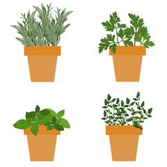 Set of vector culinary herbs in pots with fresh thyme basil, rosemary and parsley. Grow The Garden