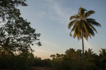 Palme am Abend, Sri Lanka