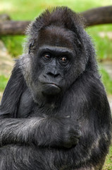 Gorilla's portrait