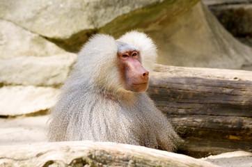 Hamadryas baboon-1