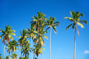 Top of coconut palm tree on blue sky background