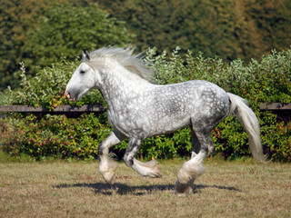 Shire Draft Horse stallion galloping in corral