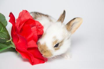 Buffo coniglietto mangia una rosa rossa