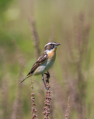 Whinchat (Saxicola rubetra) sings sitting on a blade of grass