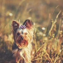 Puppy yorkshire terrier outdoor.