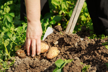 Digging up potatoes