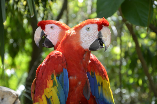 Pair of Forest Scarlet Macaws