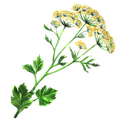 Fennel flowers anise with leaves isolated