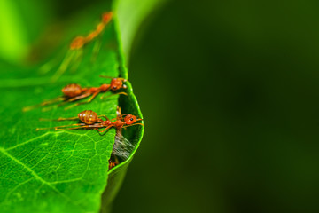 Weaver Ants (Oecophylla smaragdina) are working together to build a nest.