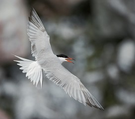 Adult common tern in flight