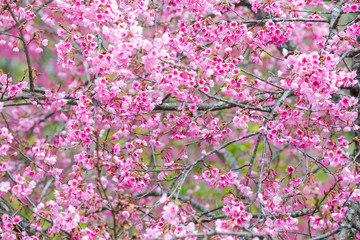 Wild himalayan cherry flower blooming.