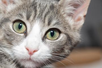 Die süßesten Katzenkinder - Portrait grauer kleiner Katzentiger