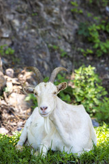 Sitting white goat looking at the camera