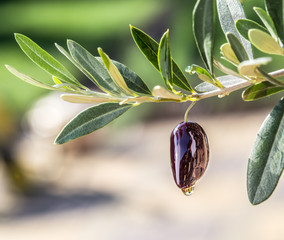 Olive oil drops from the olive berry. Сonceptual picture.
